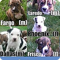 Adopt A Pet :: City Litter Puppies - Medina, OH