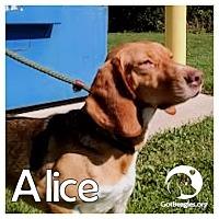Adopt A Pet :: Alice - Novi, MI
