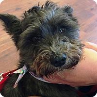 Adopt A Pet :: Tia-ADOPTION PENDING - Sharonville, OH