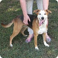 Adopt A Pet :: Ellie-  Very Sweet and Cute - Marlborough, MA