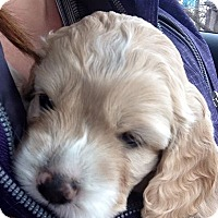 Adopt A Pet :: DEAN - Chicagoland area, IL