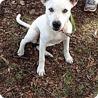 Adopt A Pet :: Cinder - Groveland, FL