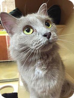 Domestic Longhair Cat for adoption in Morganton, North Carolina - Champagne