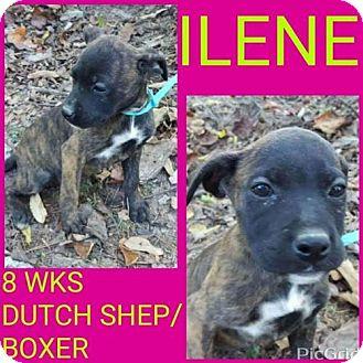 Dutch Shepherd/Boxer Mix Puppy for adoption in Pomfret, Connecticut - ILENE