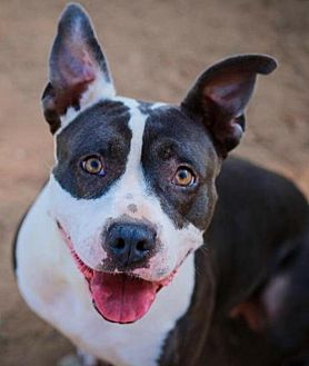 American Staffordshire Terrier Mix Dog for adoption in San Diego, California - COURTESY LISTING: Delilah