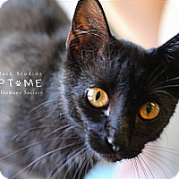 Domestic Shorthair Cat for adoption in Edwardsville, Illinois - Ichibod
