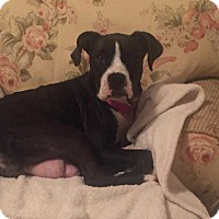 Adopt A Pet :: Addy/star - Wenonah, NJ