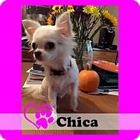 Adopt A Pet :: Chica - Medford, NJ