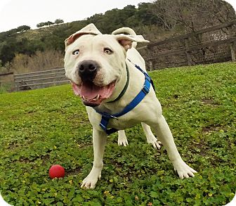 American Staffordshire Terrier/American Pit Bull Terrier Mix Dog for adoption in Los Olivos, California - Tonka
