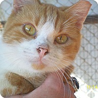 Domestic Shorthair Cat for adoption in Mexia, Texas - Porkchop