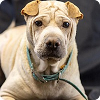 Adopt A Pet :: Bella - West Orange, NJ