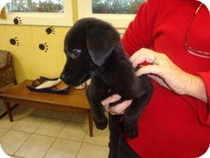 Labrador Retriever Mix Puppy for adoption in Crawfordville, Florida - Misty
