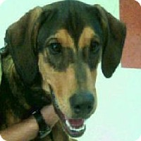 Treeing Walker Coonhound Mix Dog for adoption in Cleveland, Ohio - BANDIT