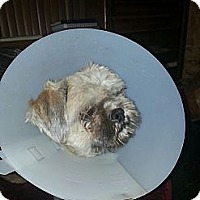 Adopt A Pet :: CoCo (DC) - Brattleboro, VT