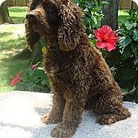 Adopt A Pet :: Connor - Sugarland, TX