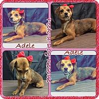 Adopt A Pet :: Adele - South Gate, CA