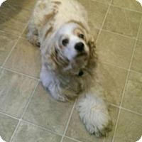 Adopt A Pet :: Munchkin - Alpharetta, GA