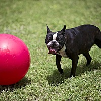Boston Terrier Dog for adoption in Weatherford, Texas - GENE