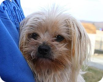 Maltese/Yorkie, Yorkshire Terrier Mix Dog for adoption in Oakland, New Jersey - Mork