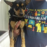 Miniature Pinscher/Chihuahua Mix Puppy for adoption in Phoenix, Arizona - Belle
