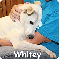 Adopt A Pet :: Whitey (Courtesy Post) - Denver, CO