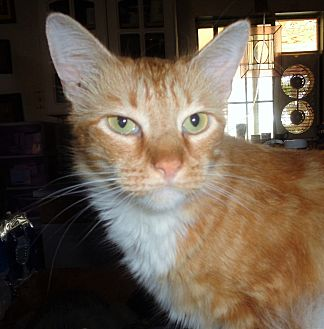 Domestic Longhair Cat for adoption in San Diego/Imperial Beach, California - Lorenzo