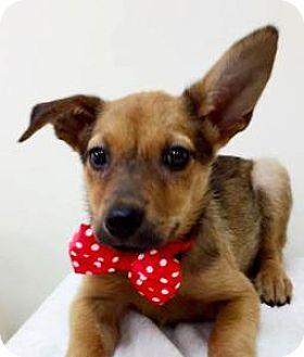 Terrier (Unknown Type, Medium)/Shepherd (Unknown Type) Mix Puppy for adoption in San Ramon, California - Jolin