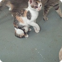 Calico Cat for adoption in San Ramon, California - Evee