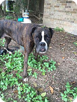 Boxer Dog for adoption in Austin, Texas - Harley Quinn