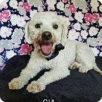 Poodle (Miniature) Mix Dog for adoption in Vancouver, British Columbia - Gia