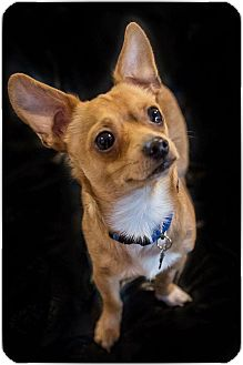 Chihuahua/Terrier (Unknown Type, Small) Mix Dog for adoption in Santa Clara, California - Luke