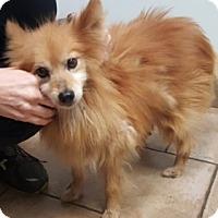 Adopt A Pet :: Cinnamon - Oswego, IL