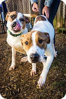 Cattle Dog/Pit Bull Terrier Mix Dog for adoption in Seattle, Washington - Rocky and Soul - Bonded Pair