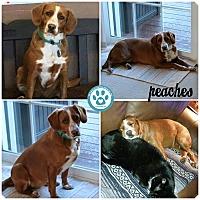 Adopt A Pet :: Peaches - Kimberton, PA