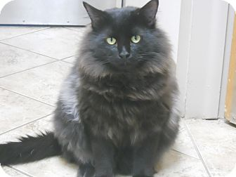 Domestic Longhair Cat for adoption in Colorado Springs, Colorado - Pluto