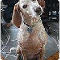 Adopt A Pet :: LadyBird - Urgent Foster Need! - kennebunkport, ME