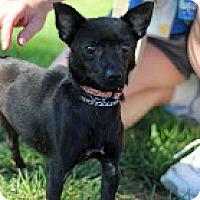 Adopt A Pet :: Chi Kia - Tinton Falls, NJ