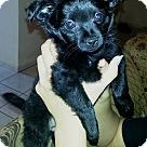 Adopt A Pet :: LItter of PomX Puppies
