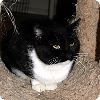 Domestic Shorthair Cat for adoption in Lacon, Illinois - Cookie