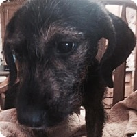 Adopt A Pet :: Louie Adoption pending - Manchester, CT