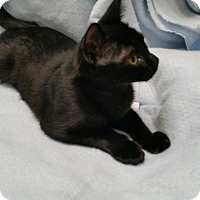 Domestic Shorthair Cat for adoption in Maryville, Tennessee - Nebula