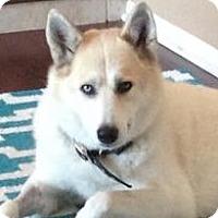 Adopt A Pet :: Maya - Carrollton, TX