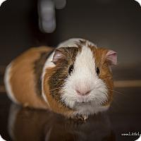 "Adopt A Pet :: Neo ""Neapolitan"" - Manhattan, KS"