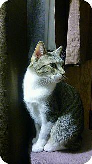 American Bobtail Cat for adoption in Centerton, Arkansas - Brody