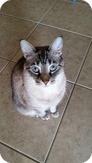Siamese Cat for adoption in Orlando, Florida - Kashi (JB) (4/3/2008) (Courtesy)