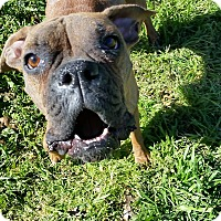 Boxer Dog for adoption in Austin, Texas - Narnia