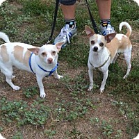 Adopt A Pet :: Cleo and Marc Anthony *Bonded Pair - Akron, OH
