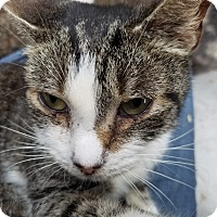 American Shorthair Cat for adoption in Medford, New York - Smooch