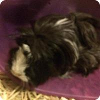 Adopt A Pet :: Pigwidgeon - Ann Arbor, MI