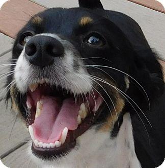 Papillon Mix Dog for adoption in MINNEAPOLIS, Kansas - Papi